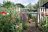 Idyllic cottage garden with picket fence, open garden gate, poppy flowers and chicken