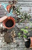Frauenhände mit Gartenhandschuhen topfen Pflanzen um