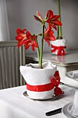 Potted amaryllis wrapped in fabric and ribbon decorating table