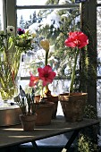 Amaryllis and other flowers in conservatory with snow outside window