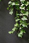 Green tendril in front of a dark gray wall