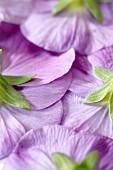 The underside of purple pansies (full frame)