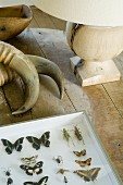 Animal horns and collection of butterflies next to table lamp