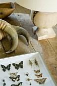 Tierhörner und Schmetterlingssammlung neben Tischleuchte