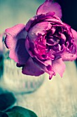 Pink rose in vase