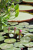 Water lily buds in pond