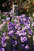 Two butterflies on purple Michaelmas daisies