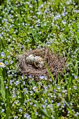 Speckled eggs in bird's nest on flowering lawn