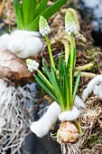 White grape hyacinths with bulb tied to spring wreath