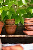 Terracotta pots and saucers on board shelf under Virginia creeper