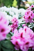 Pink and white rhododendron flowers