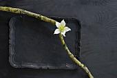 Zwei bemooste Äste mit einer weissen Christrosenblüte auf schwarzem Tablett