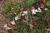 White crocuses growing amongst gravel and leaves