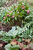 Snowdrops and pink hellebores in garden