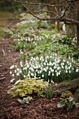 Snowdrops flowering in garden