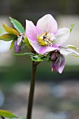 Portrait of hellebore flower