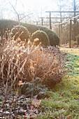 Hoar frost on grasses in wintry garden
