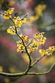 Branch of yellow-flowering witch-hazel