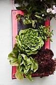 Arrangement of various lettuces and plants