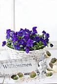 Purple violas in basket and moss in eggshells