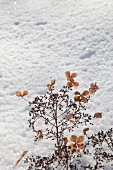 Dried hydrangea umbels in snow