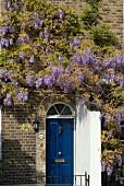 Backsteinhaus mit blauer Haustür und blühendem Blauregen