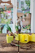 Narcissus bulbs in yellow plastic pots on wooden surface