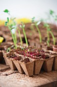 Vegetable seedlings in recycled seed trays