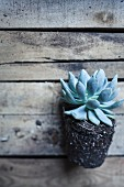 Succulent with root ball on old wooden crate