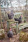 Free-range hens on and around vintage garden bench