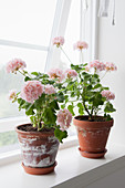 Two potted pink geraniums on windowsill