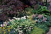 Acer, Hosta, Allium, Thymus, Inula ensifolia