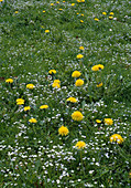 Meadow with dandelions and Veronica