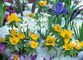 Spring awakening, Eranthis hyemalis (winter aconite), Galanthus