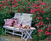 French garden bench with Rosa gallica 'Scarlet Glow'