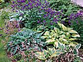 Shadow flowerbed, Aquilegia (columbine), Hosta fortunei 'Sharmon'