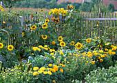 Farm garden with Helianthus (sunflower)