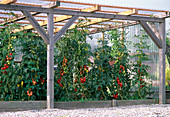 Tomato house with meat tomatoes, cocktail tomatoes
