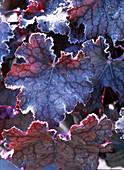 Heuchera 'Velvet Night' (purple bells) with hoarfrost