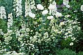 Delphinium 'Magic Fountain' White