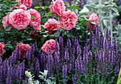 Rose 'Leonardo Da Vinci', Salvia nemorosa 'Blue Hills'