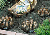 Spring onions in grid basket plants and put in the soil