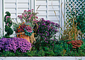 Flowerbed in autumn with Malus, Buxus, Aster dumos 'Prof. Kippenberg'