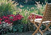 Flowerbed with Pennisetum, Dendranthema Garden-Mums 'Wuhai'