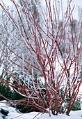 Cornus alba with red rind in hoarfrost