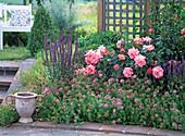 Rosa 'Freisinger Morgenröte', Salvia nemorosa 'Caradonna', Phuopsis