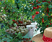 Harvest still life with gooseberries and redcurrants