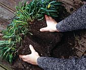 Campanula persicifolia 2. Step