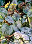 Hoarfrost on Lamium galeobdolon 'Florentinum' (golden nettle)