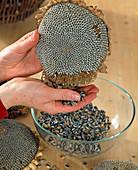 Loosen the Helianthus annuus (sunflower) seeds